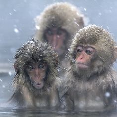Incredibly entertaining japanese macaques in the hot spring near Nagano, Japan - Expressions Photo by Julia Wimmerlin — National Geographic Your Shot Japanese Macaque, Baby Animals, Cute Animals, Ape Monkey, Visit Japan, Cutest Thing Ever, Primates, World Best Photos, Dinosaurs