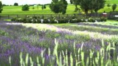 It is our mission to teach others about natural ways to cope with the stress and anxiety that life brings.  Watch this short video that highlights some tips and tricks on lavender lifestyle practices.