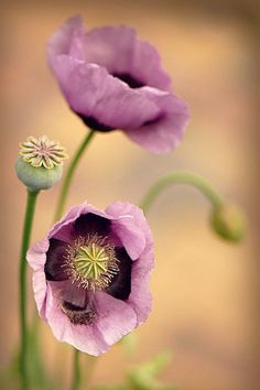 Poppy pastels. photo: Jacky Parker Floral Art. Amazing Flowers, Wild Flowers, Beautiful Flowers, Flower Pictures, Summer Garden, Pansies, Flower Power, Planting Flowers, Flower Arrangements