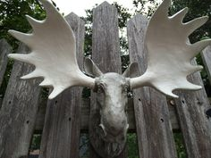 Furniture Stores In Fairbanks Ak 1000+ images about MOOSE ANTLERS on Pinterest | Moose, Moose antlers ...