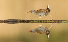 Waterrail in a hurry, on its way back to the reed fringes, after having picked up a lovely meelworm meal - photo by Franka Slothouber, via Your Shot, National Geographic (3/03/16);  taken from a photographer's hide in a swamp nearby Amsterdam, North Holland, The Netherlands