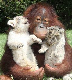 A imagem de um macaco Segurando Alguns tigres