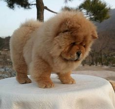 Chow Chow Dog Breed Information, Health, Appearance & Care Fluffy Dogs, Fluffy Animals, Animals And Pets, Chow Dog Breed, Chow Chow Dogs, Puppy Chow, Cute Baby Dogs, Cute Puppies, Dogs And Puppies