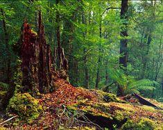 Balfour Forest, Tarkine Rainforest, Tasmania