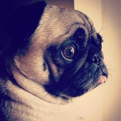 Pug is confused by her deep pug thoughts.