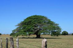 Costa Rica National Tree