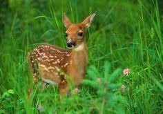 █ Author → http://pinterest.com/PinterestFella/ █  Baby Deer From → http://bing.com