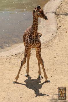 """New wobbly legs are fun!"" #Kipenzi"
