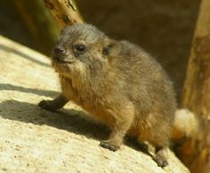 Rock hyrax - The closest living relative to the Elephant