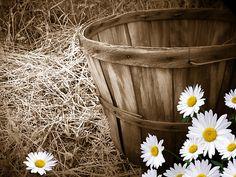daisies and the bushel basket....