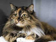 FLORA is an adoptable Domestic Long Hair Cat in Agoura, CA.  ...