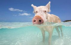 Now I have to be worried about being attacked by wild pigs in the ocean too?! @Megan Nicole Dodson