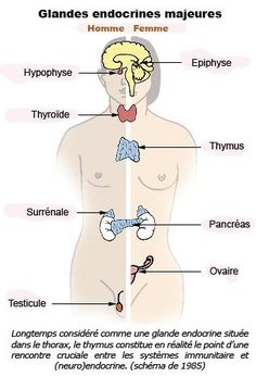 Le Grand Changement: Les fonctions des Glandes Endocrines !