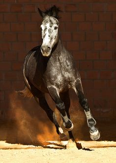 I love this color... by © Raphael Macek - Horse Photography, via Flickr.com
