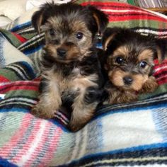 Adorable Tiny AKC Tiny Tea Cup Yorkie puppies now available