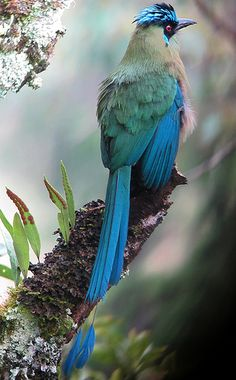 The Blue-crowned Motmot is a colourful near-passerine bird found in forests and woodlands of eastern Mexico, Central America, northern and central South America, and Trinidad and Tobago.