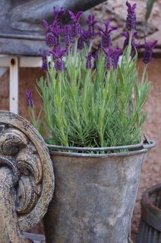 Gardens in the Sun...nothing beats lavender in an old bucket!