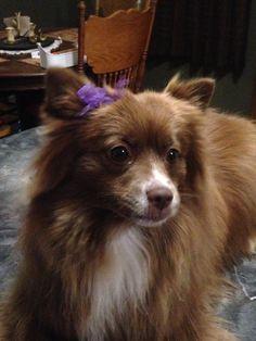 Pomeranian my baby girl