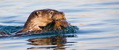 Otter by Phil McDermott