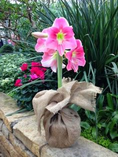 Have a beautiful Day  #Amaryllis   #Hippeastrum   #royalcolors #Floral #Flower #Bloom #Beautiful #Amazing #bulbs #keukenhof #Netherlands   #амариллис   #アマリリス   #孤挺花   #amarilis  royalcolors.com  #flowers