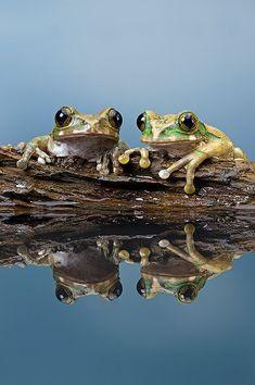 Peacock Tree Frog (Leptopelis Vermiculatus)   da Dave Hunt Photography