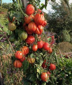 Kenneths tomatpåle - för frilandsodling av högväxande tomater | Bondjäntan Green Farm, Tomato Garden, Heirloom Tomatoes, Gardening For Beginners, Natural Wonders, Habitats, Flora, Planters, Pumpkin