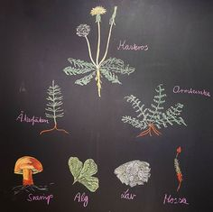 Main lesson botany, fifth grade. Chalkboard drawing by me.