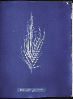 Dictyosiphon fæniculacea. (1843-1853)