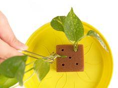 ⚫ 海綿介質 - 先從觀葉植物下手,採用較容易成功的「扦插法」,搭配使用「阡插專用育苗綿(吸飽水後仍能保留約 25~35% 空隙讓空氣填入;發泡結構類似細胞壁,植株重新發根前,可以順利取得水份、甚至養份。用來取代泥炭土或培養土,繁殖成功的機會很高喔! ⚫ Step 1 - 先將由酚醛樹酯發泡的海綿介質泡濕:事先浸泡約 30min,可以讓植株更容易插入固定,介質適量保水也會大大提高發根的成功率。 ⚫ Step 2 - 使用花剪,剪下要阡插繁殖的植株:一般觀葉植物在分枝處最容易成功發根,新手可以抓在分枝處下方 1~2cm 處剪下。使用園藝專用剪刀以避免撕裂狀傷口。更仔細點,可以用酒精稀釋消毒傷口以免感染。 ⚫ Step 3 - 剪下的植株插入介質中:使用鑷子或不鏽鋼長夾夾住枝葉切口處(避免手部細菌感染植株)。 Green, Home Decor, Decoration Home, Room Decor, Home Interior Design, Home Decoration, Interior Design