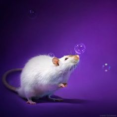 funny rat pictures