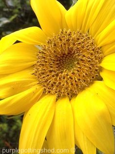 Sunny, sunny bloom of the sunflower!  www.purplepottingshed.com