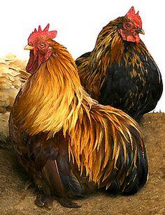 Pretty chickens.