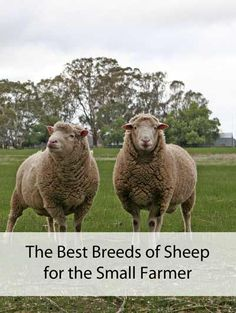 What are the best breeds of sheep for the small farm?