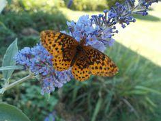 Great Spangled Fritilary on butterfly bush bloom      repinned by www.vinlandvalleynursery.com