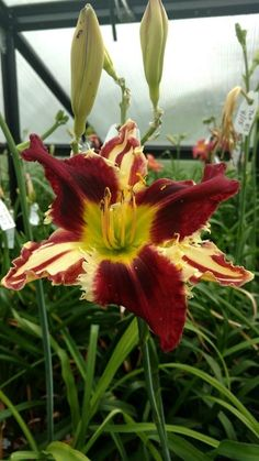 """daylily with stripes """"Clown Pants"""" Flora Flowers, Exotic Flowers, Beautiful Flowers, Tropical Flowers, Purple Flowers, Love Garden, Garden Art, Daylily Garden, Peonies Garden"""