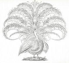 Flourish peacock