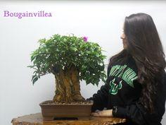 Amazing bonsai trees for sale, comes in amazing custom hand made bonsai pots. Bonsai Trees For Sale, Bonsai Tree Types, Indoor Bonsai Tree, Bonsai Art, Acer Palmatum, Bougainvillea Bonsai, Wonder Art, Miniature Trees, Miami