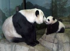 Giant Panda with baby