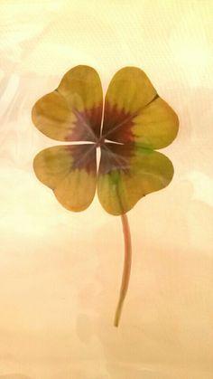 Kleeblatt - Glück 🍀