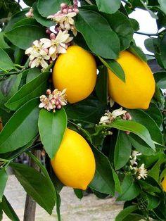 Lemon trees in bloom by Isik Benetello by isikbenetello - Photo 164277005 / 500px