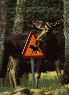 Moose and Moose warning sign in Sweden. For Moose watching tours, see: www.wildsweden.com