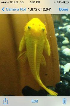 Yellow Pleco