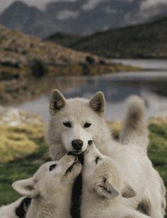 farawayfarewell:  Wolfs on We Heart Ithttp://weheartit.com/entry/76590320/via/RenateO