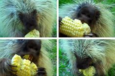 Hell hath no fury like a porcupine who doesn't want to give up his corn on the cob. This NORTH AMERICAN PORCUPINE lets his squeaky grunts fly when his corn is threatened.