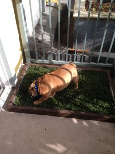 Doggy and the City large dog litter box with real grass used by this large Bulldog. Indoor Dog Potty, Porch Potty, Dog Litter Box, Real Dog, Large Dogs, Balcony, Grass, Deck, City