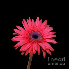 Beautiful photo by Beverly Guilliams #photography   #spring   #pink   #gerbera   #daisies   #flowers