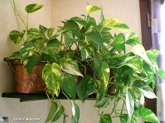 Pothos • Epipremnum pinnatum aureum