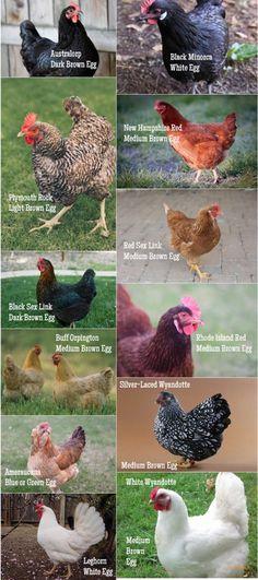 chicken egg types