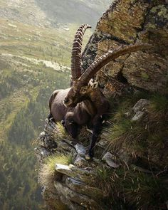 How does he do it?  And with those horns? Baby Animals, Animals And Pets, Funny Animals, Cute Animals, Unique Animals, Nature Animals, Beautiful Creatures, Animals Beautiful, Alpine Ibex