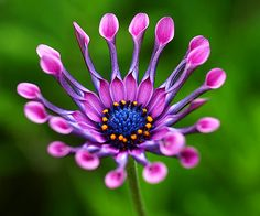 African Daisy...amazingly beautiful...I want some of these for my yard.....